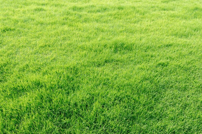 pousse de pelouse