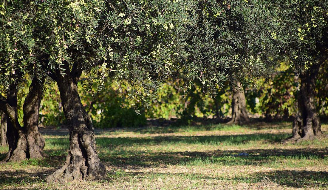 Comment bien tailler un olivier ? | Arbre à vent