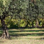 Comment bien tailler un olivier ?